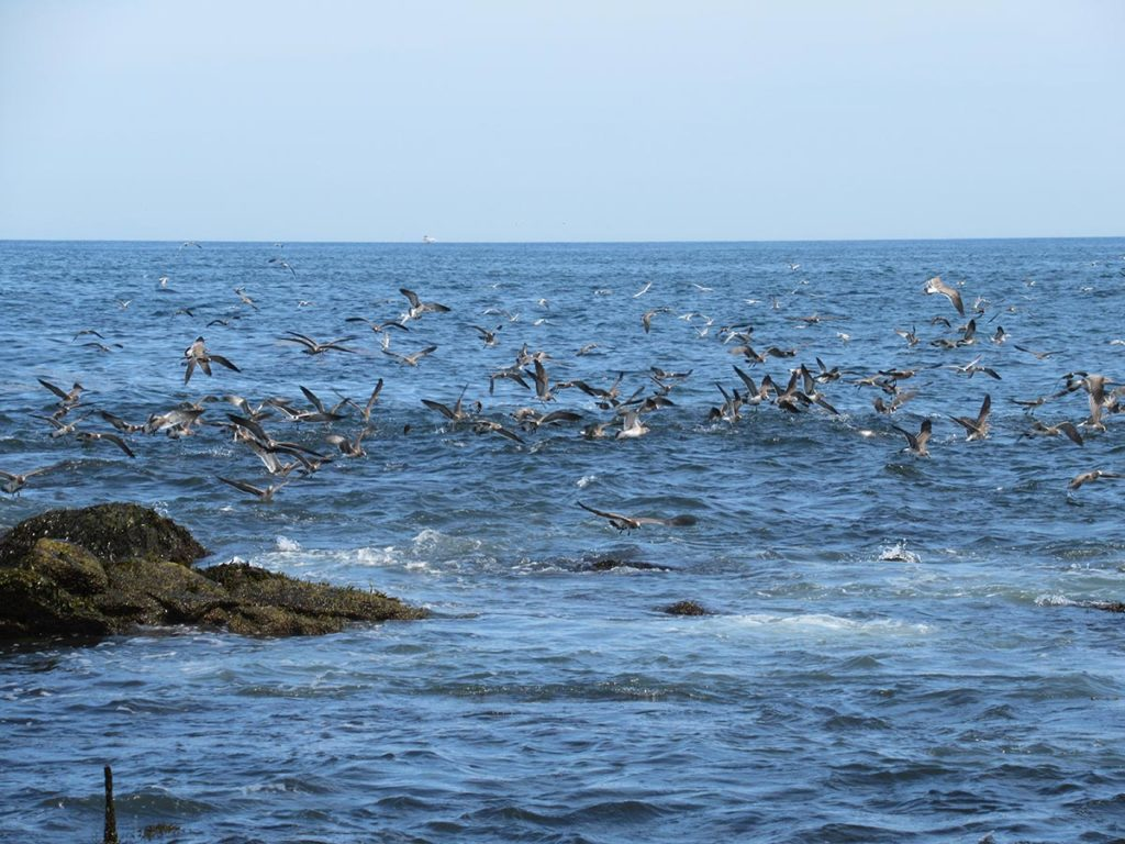 When peanuts arrive in late summer, the South County beaches in Rhode Island come alive with striped bass, bluefish and birds.